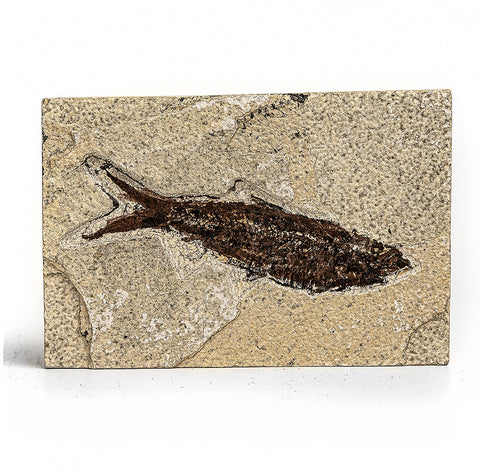 Knightia Fossil Fish from Wyoming (252 grams)