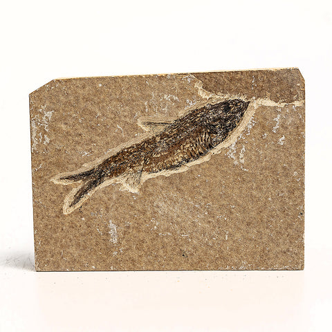 Knightia Fossil Fish from Wyoming (334 grams)