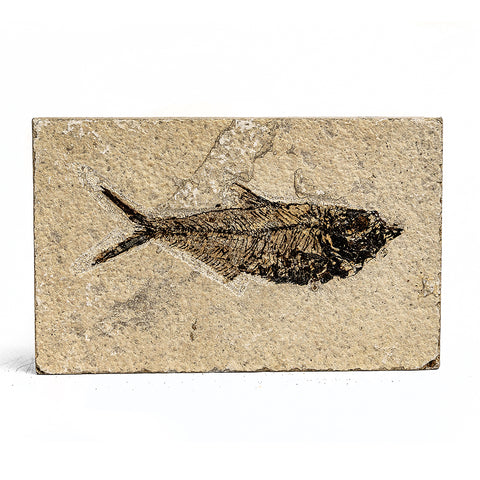 Knightia Fossil Fish from Wyoming (243 grams)