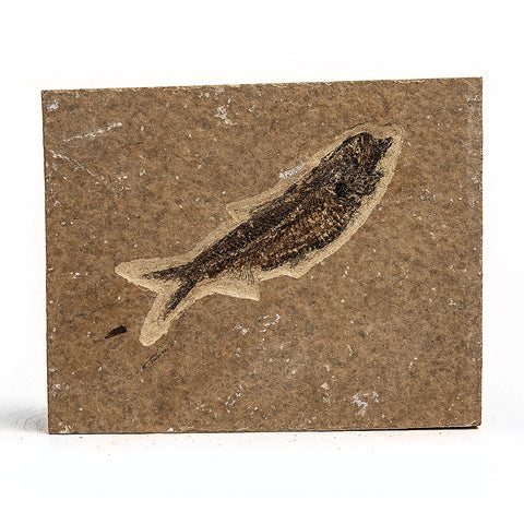 Knightia Fossil Fish from Wyoming (293 grams)