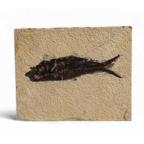 Knightia Fossil Fish from Wyoming (347 grams)