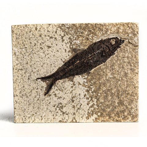 Knightia Fossil Fish from Wyoming (466 grams)