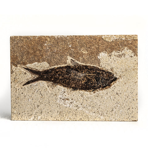 Knightia Fossil Fish from Wyoming (262 grams)