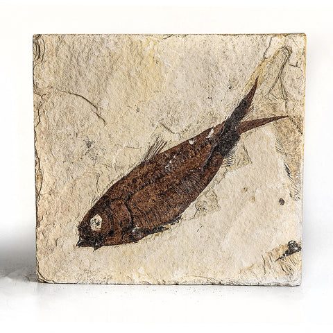 Knightia Fossil Fish from Wyoming (578 grams)