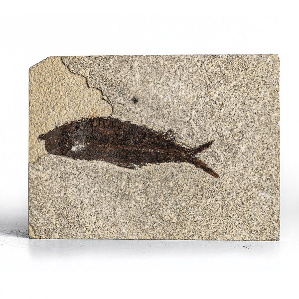 Knightia Fossil Fish from Wyoming (409 grams)