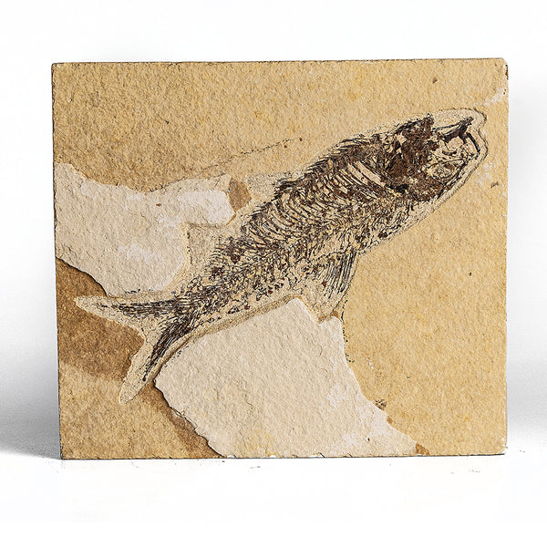 Knightia Fossil Fish from Wyoming (371 grams)