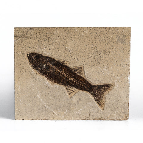 Knightia Fossil Fish from Wyoming (2 pounds)