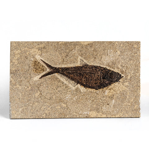 Knightia Fossil Fish from Wyoming (547 grams)