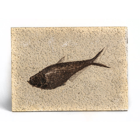 Knightia Fossil Fish from Wyoming (635 grams)