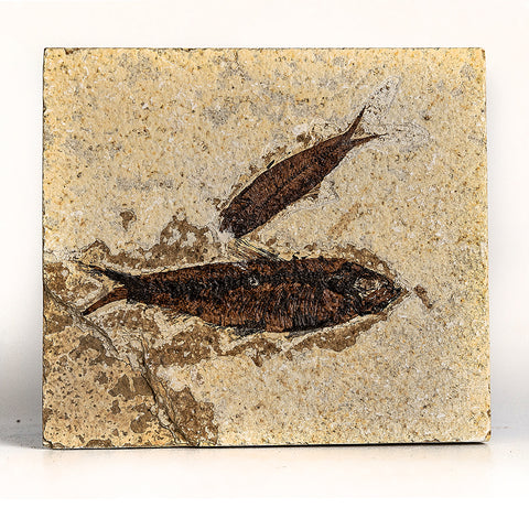 Knightia Fossil Fish from Wyoming (299 grams)