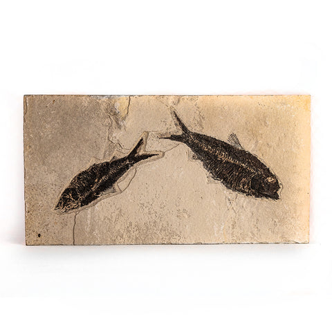 Knightia Fossil Fish from Wyoming (4 pounds)