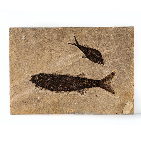 Knightia Fossil Fish from Wyoming (3 pounds)