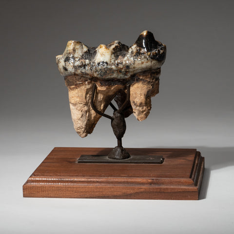 Genuine Mastodon Tooth and Roots on Stand (1.75 lbs)