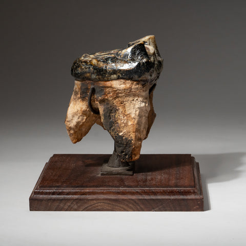Genuine Mastodon Tooth on Stand (2.25 lbs)