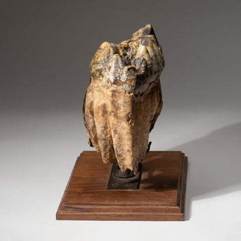 Genuine Mastodon Tooth on Stand (4 lbs)