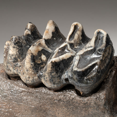 Genuine Mastodon Tooth on Stand (14 lbs)