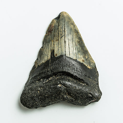 Genuine Megalodon Shark Tooth (86 grams)