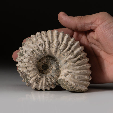 Natural Ammonite Fossil from Madagascar (.9 lbs)