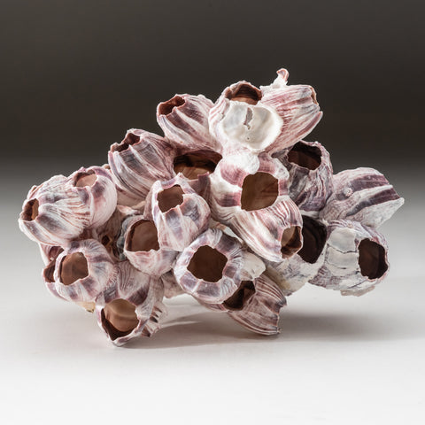 Natural Purple Acorn Barnacle Cluster (.4 lbs)