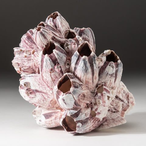 Natural Purple Acorn Barnacle Cluster (.6 lbs)