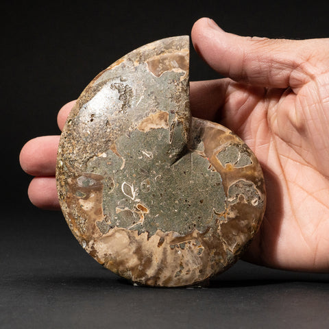 Calcified Ammonite Halve From Madagascar (135.3 grams)