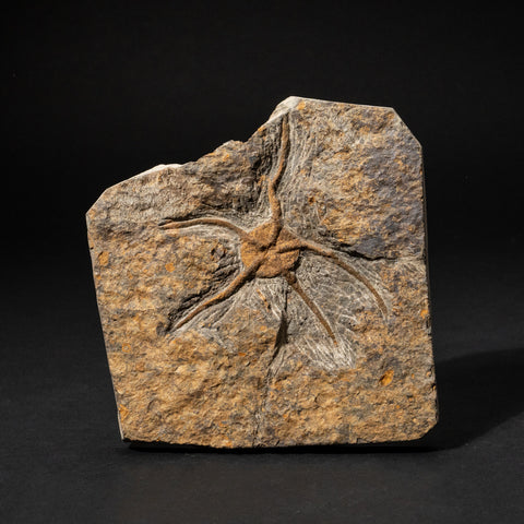 Ophiuroidea Brittle Star Fossil (.8 lbs)