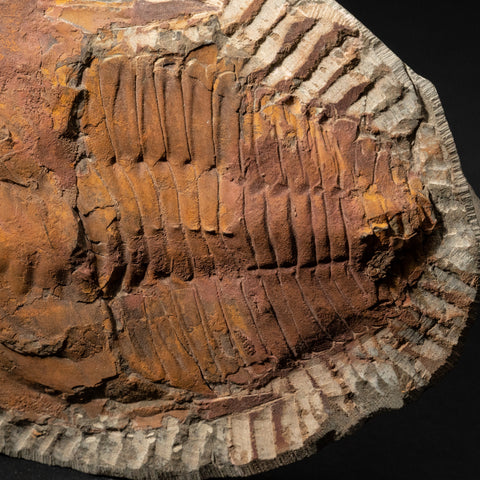 Andalusiana Paradoxides Trilobite from Morocco (2.2 lbs)