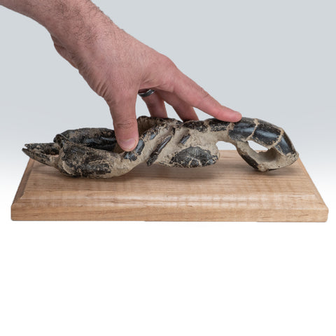 Genuine Arthropod (Crustacean) Lobster on Wooden Display (1 lb)