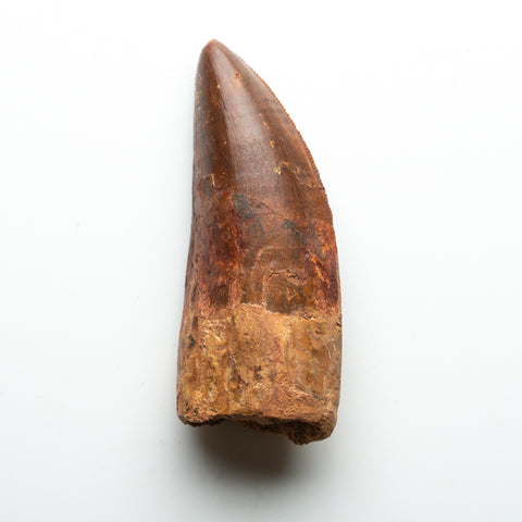 Genuine Natural Large Carcharodontosaurus Dinosaur Tooth