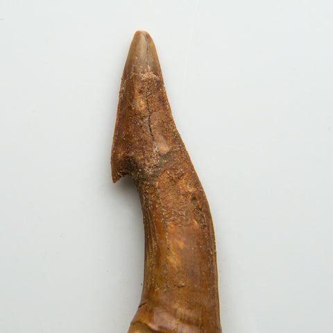 Genuine Natural Sawfish Tooth