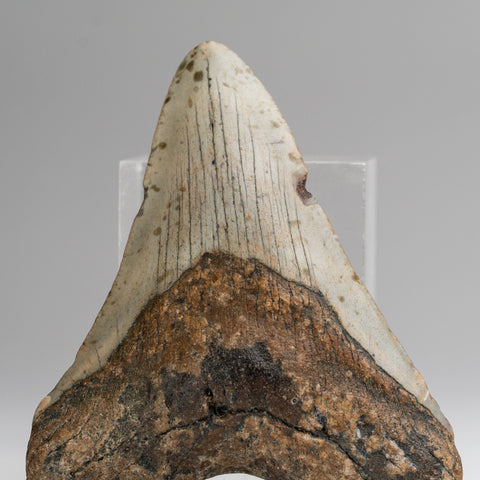 Genuine Megalodon Shark Tooth (127.5 grams)