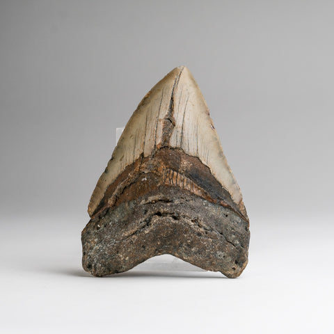 Genuine Megalodon Shark Tooth (189.8 grams)