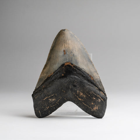 Genuine Megalodon Shark Tooth (188.4 grams)
