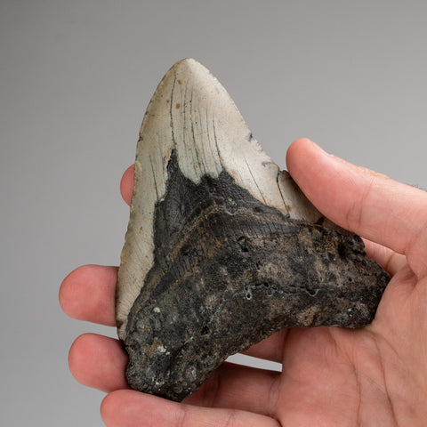 Genuine Megalodon Shark Tooth (180.6 grams)