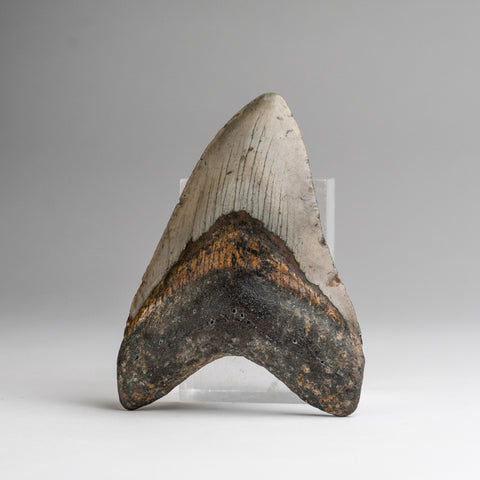 Genuine Megalodon Shark Tooth (144.5 grams)