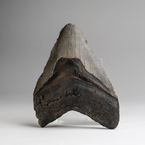 Genuine Megalodon Shark Tooth (233.2 grams)
