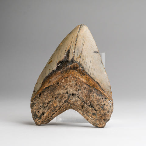 Genuine Megalodon Shark Tooth (200.8 grams)