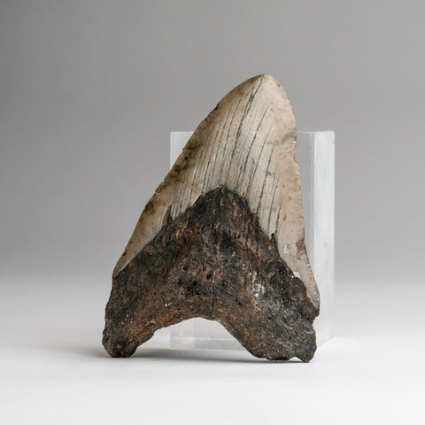 Genuine Megalodon Shark Tooth (132.5 grams)