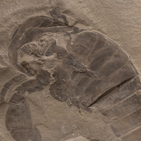 Genuine Eurypterus (Sea Scorpion) on Display