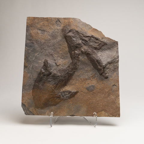 Genuine Dinosaur Footprints on Display