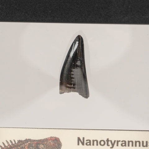 Genuine Nanotyrannus Rex Tooth in a Display Box
