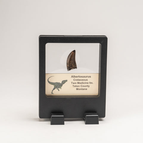 Genuine Albertosaurus Rex Tooth in a Display Box