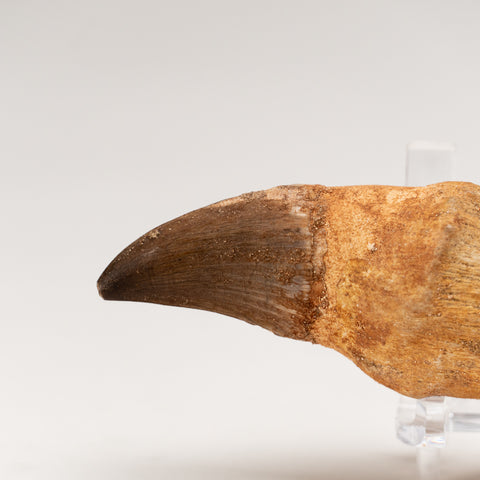 Mosasaur Tooth From Phosphate Deposits - Khouribga, Morocco (100.4 grams)