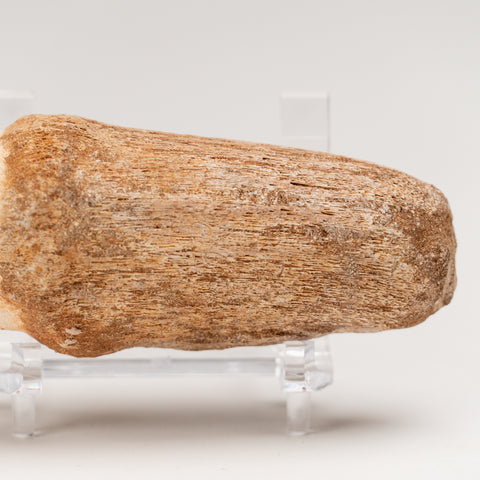 Mosasaur Tooth From Phosphate Deposits - Khouribga, Morocco (118.3 grams)