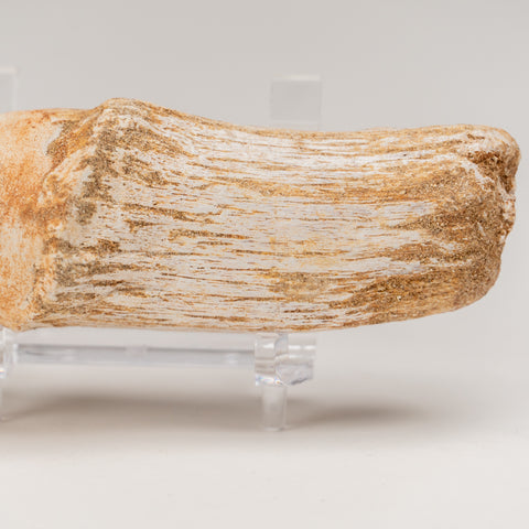 Mosasaur Tooth From Phosphate Deposits - Khouribga, Morocco (108.4 grams)