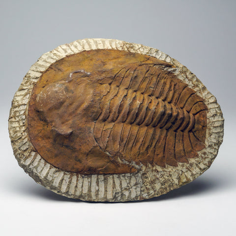 Andalusiana Paradoxides Trilobite from Morocco (2.3 lbs)