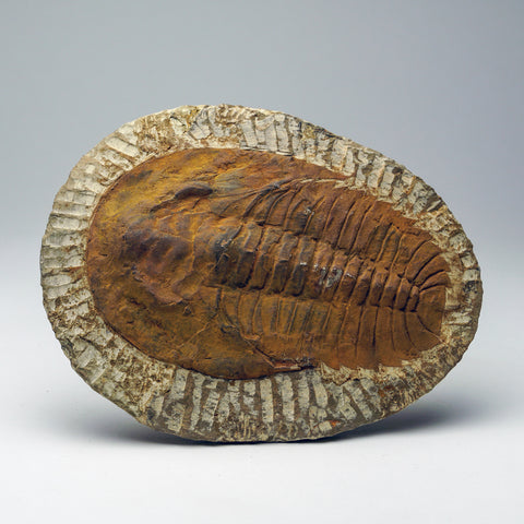 Andalusiana Paradoxides Trilobite from Morocco (694.7 grams)