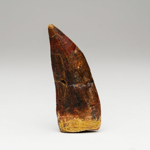 Carcharodontosaurus Tooth From Tegana Formation, North Africa
