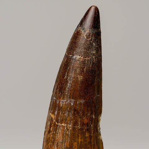 Spinosaurus (Dinosaur) Tooth From Tegana Formation, North Africa
