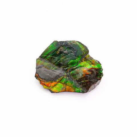 Gem Ammolite Ammonite from Alberta, Canada (24.3 grams)